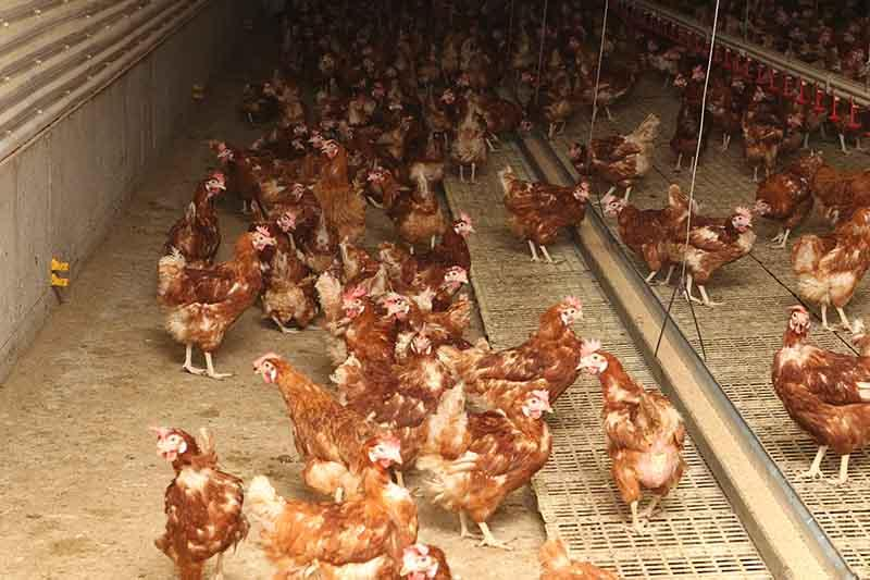 Hens have access to the entire barn floor.